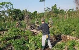 Cultivo de marihuana destruida en Villa Ygatimí.