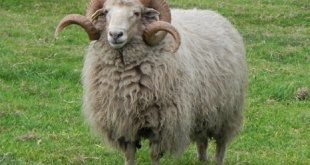 La mujer de 67 años sufrió el ataque de un carnero. Murió a raíz de las heridas.