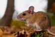 Los ratones silvestres transmiten la enfermedad a las personas al eliminar el virus a través de la saliva, las heces y la orina.