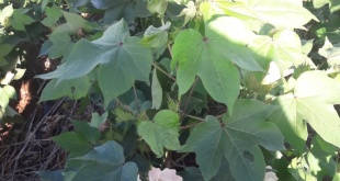 Se estima que en el mes de marzo iniciarían las etapas de cosecha del oro blanco.