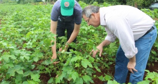 En la zona se cuenta con más de 1.600 hectáreas de cultivo; con un excelente estado de desarrollo.