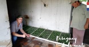 En total unas 2.000 mudas de pimiento están en proceso de desarrollo.