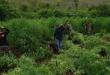Cultivo de marihuana que fue destruido el viernes de la semana pasada en la colonia 11 de Setiembre del distrito de Villa Ygatimí, departamento de Canindeyú. Foto: Gentileza.