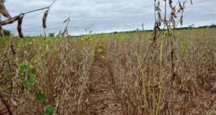 No llueve suficiente desde hace meses en Alto Paraná e Itapúa y la soja es el rubro más afectado.