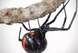 """La """"Phinda button"""" es una nueva especie de viuda negra descubierta en Sudáfrica."""