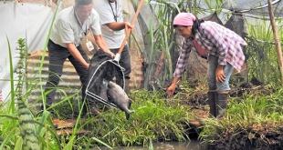 Los peces, de la especie Pacú, fueron entregados por técnicos de la División de Embalse, dependiente de la Dirección de Coordinación de la Binacional.