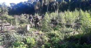 En el lugar, encontraron siete hectáreas de plantación de marihuana en etapa de cosecha y crecimiento.