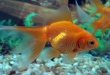 Joshua Coles se tragó un pez dorado vivo.