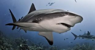 Algunas especies de tiburones estarían en peligro de extinción.