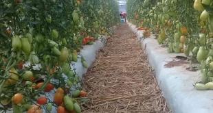La producción obtenida se comercializa en el mercado local, y a la vez están en conversaciones con cadenas de supermercados para convertirse en proveedores.