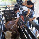 Arrancó oficialmente campaña de vacunación contra la fiebre aftosa y la brucelosis bovina